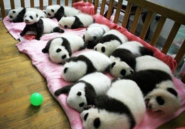 В Китае создали детский сад для панд